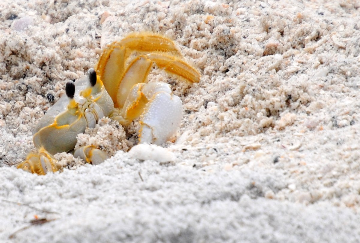 Tropical Island Beach Ambience Sound: Field Notes And Photos: Ghost Crab On The Gulf Coast