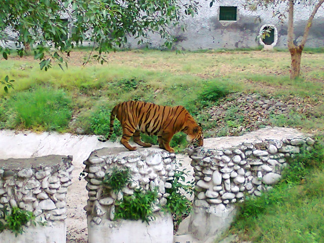 Tiger at the Chattbir Zoo