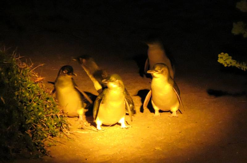 Little penguins at Low Head