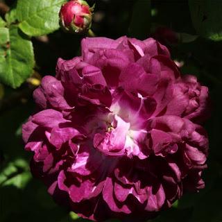 cramoisi violet