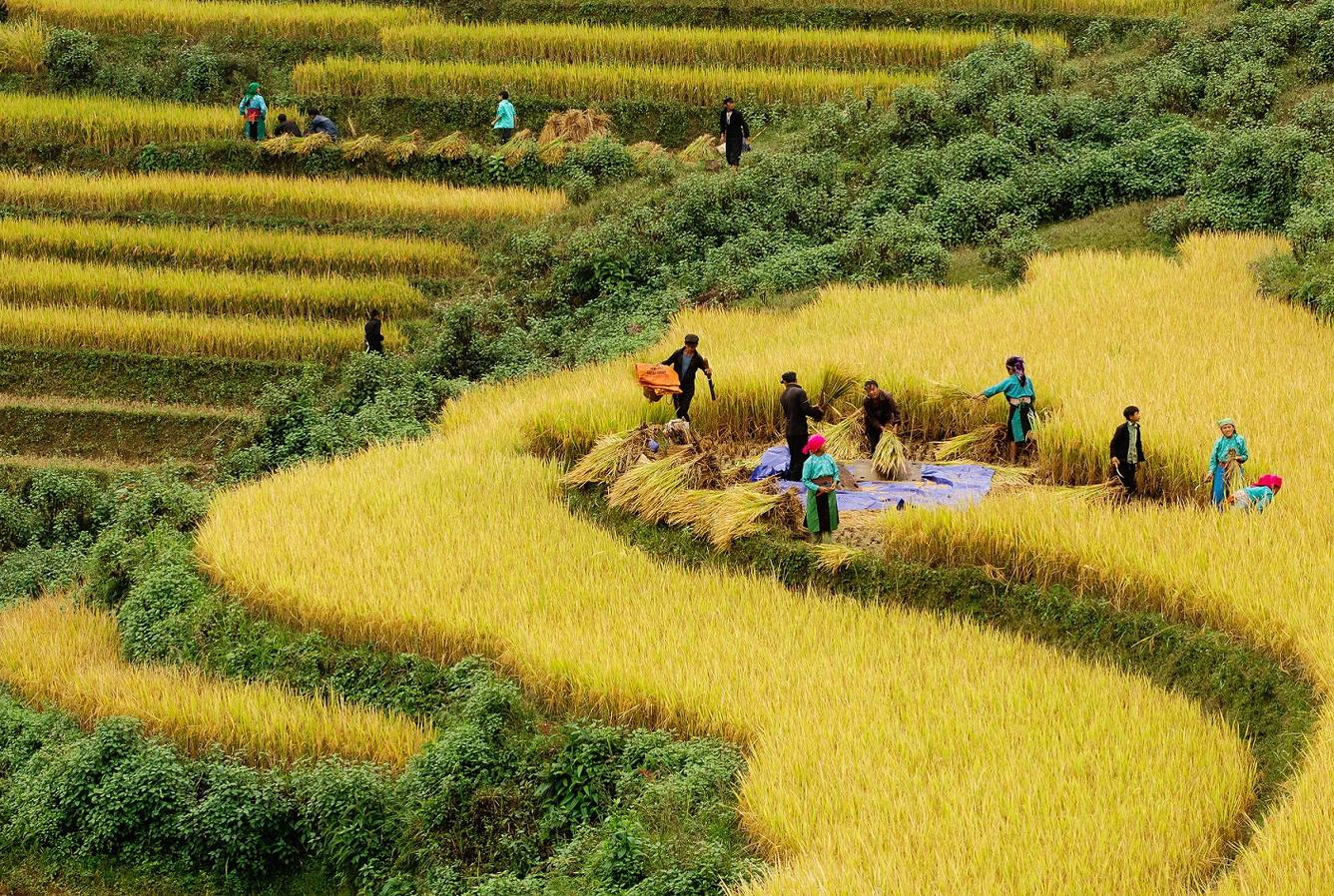 người dân thu hoạch lúa ở ruộng bậc thang
