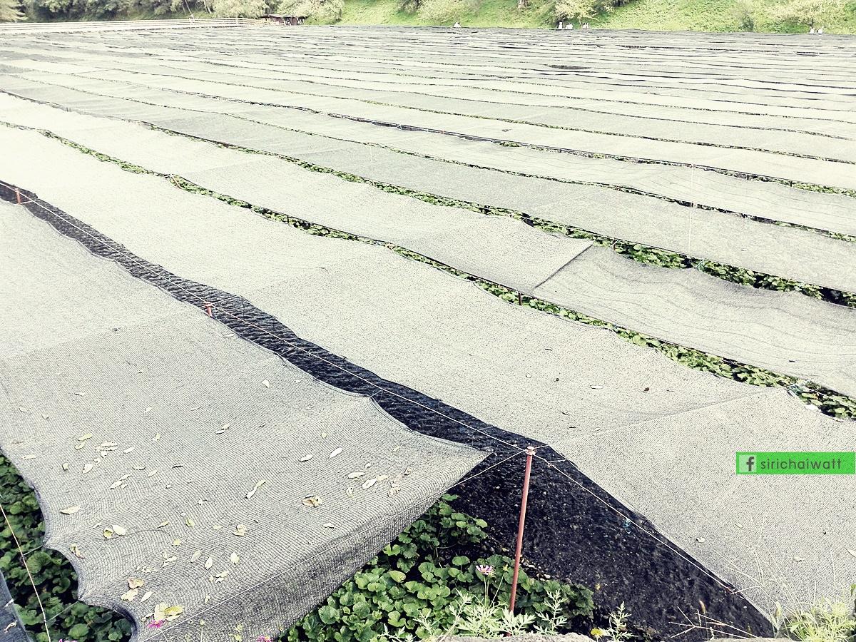 ฟาร์มวาซาบิไดโอ, Daio, wasabi farm, นากาโน่, นางาโน่, Nagano, มัทซึโมโต้, matsumoto