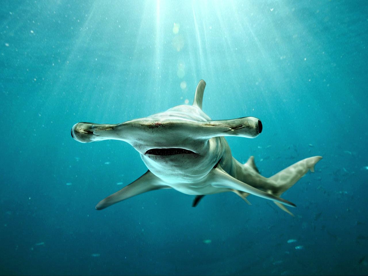 Welcome To The World Of Fish Maret 2016 Kaos Ikan Hiu Shark Ini Menyerupai Martil Sehingga Dinamakan Great Hammerhead Dari Genus Sphyrna Adalah Anggota Famili Sphyrnidae