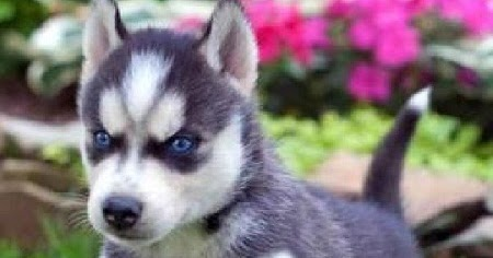 Cute Labrador Puppies Wallpapers Funny Amp Cute Cats Cute Husky Puppies With Blue Eyes