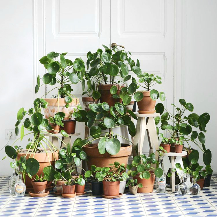 Mod and Mint: The Pilea Peperomioides. And why we will have too many. Photo @nininoes