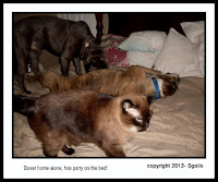 FIV cat playing with dogs on bed