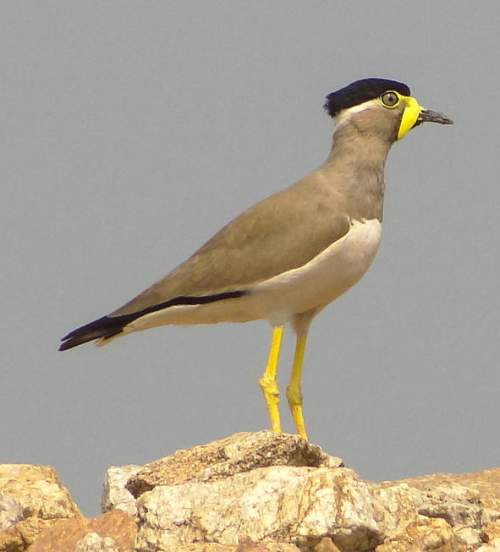 Birds of India - Photo of Yellow-wattled lapwing - Vanellus malabaricus