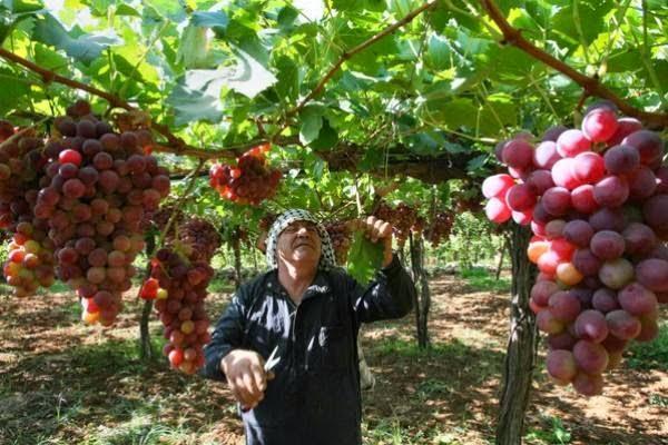 حقول العنب في الخليل - فلسطين المحتلة
