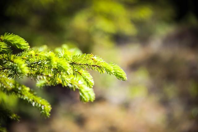 kuusi metsä