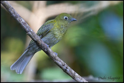 Grey-tailed Piha