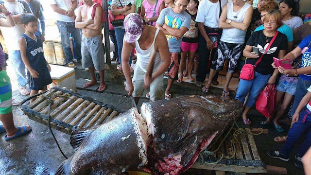 Pinoy Fisherman Caught A Gigantic Lapu-Lapu Weighing 200kg And 7-Feet Long. People Believed That It Swallowed A Human Because Of This!