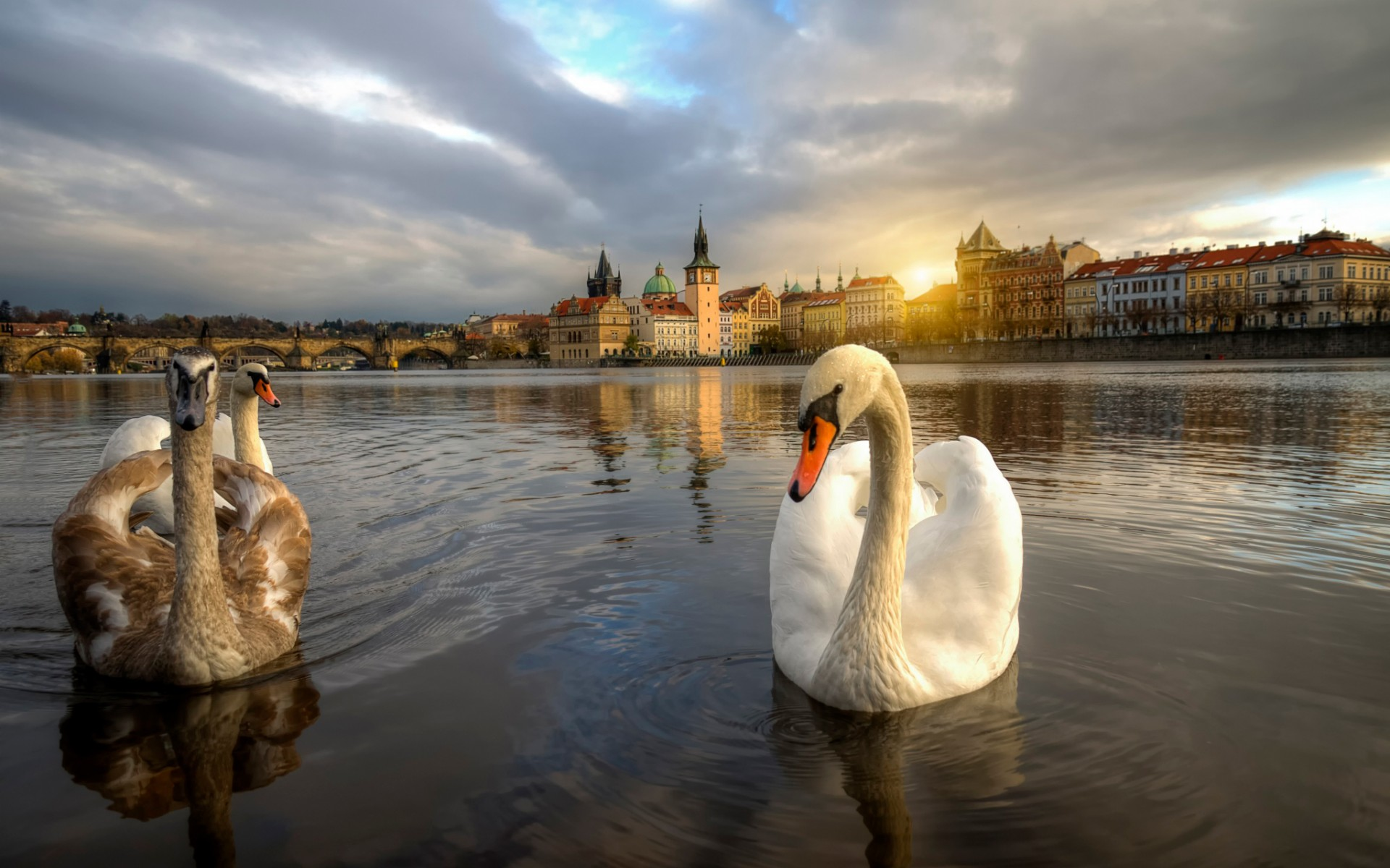 Free Early Fall Wallpaper Swans In Prague Mystery Wallpaper