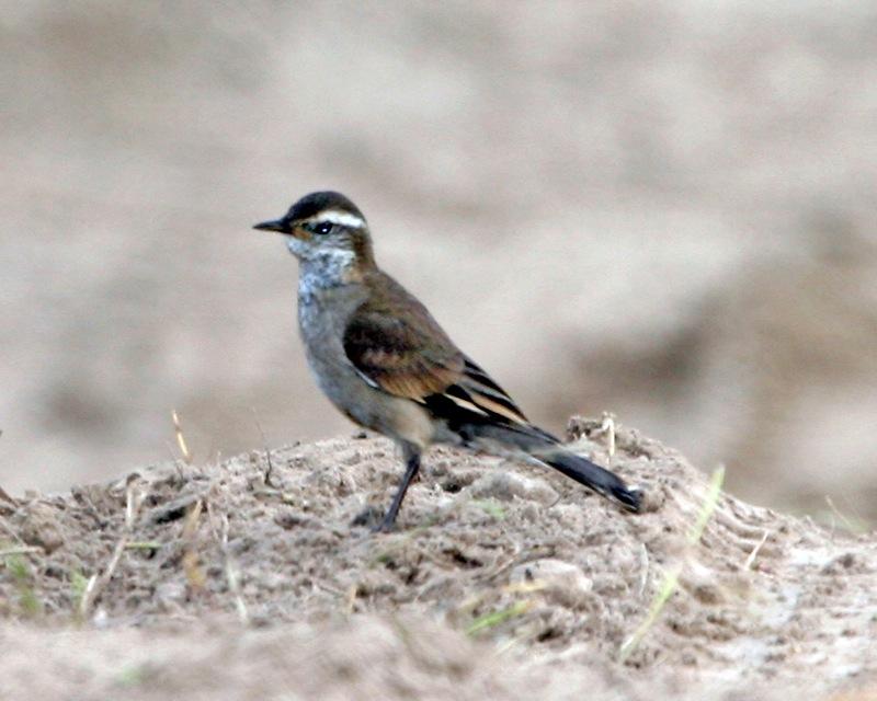 Pedreiro-do-Espinhaço (Cinclodes espinhacensis)