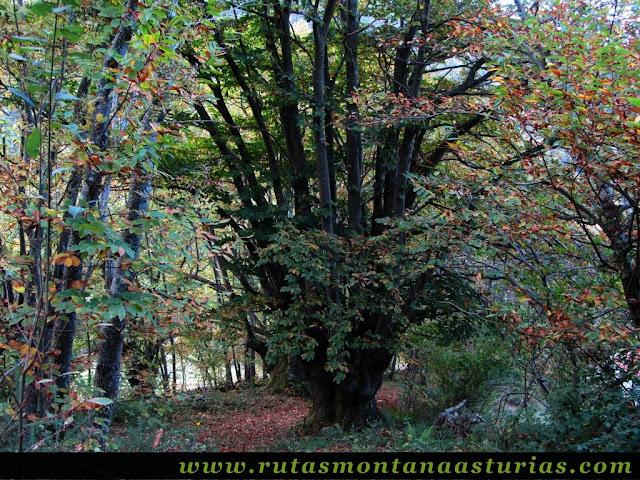 Circular Coañana Saleras: Bosque de castaños