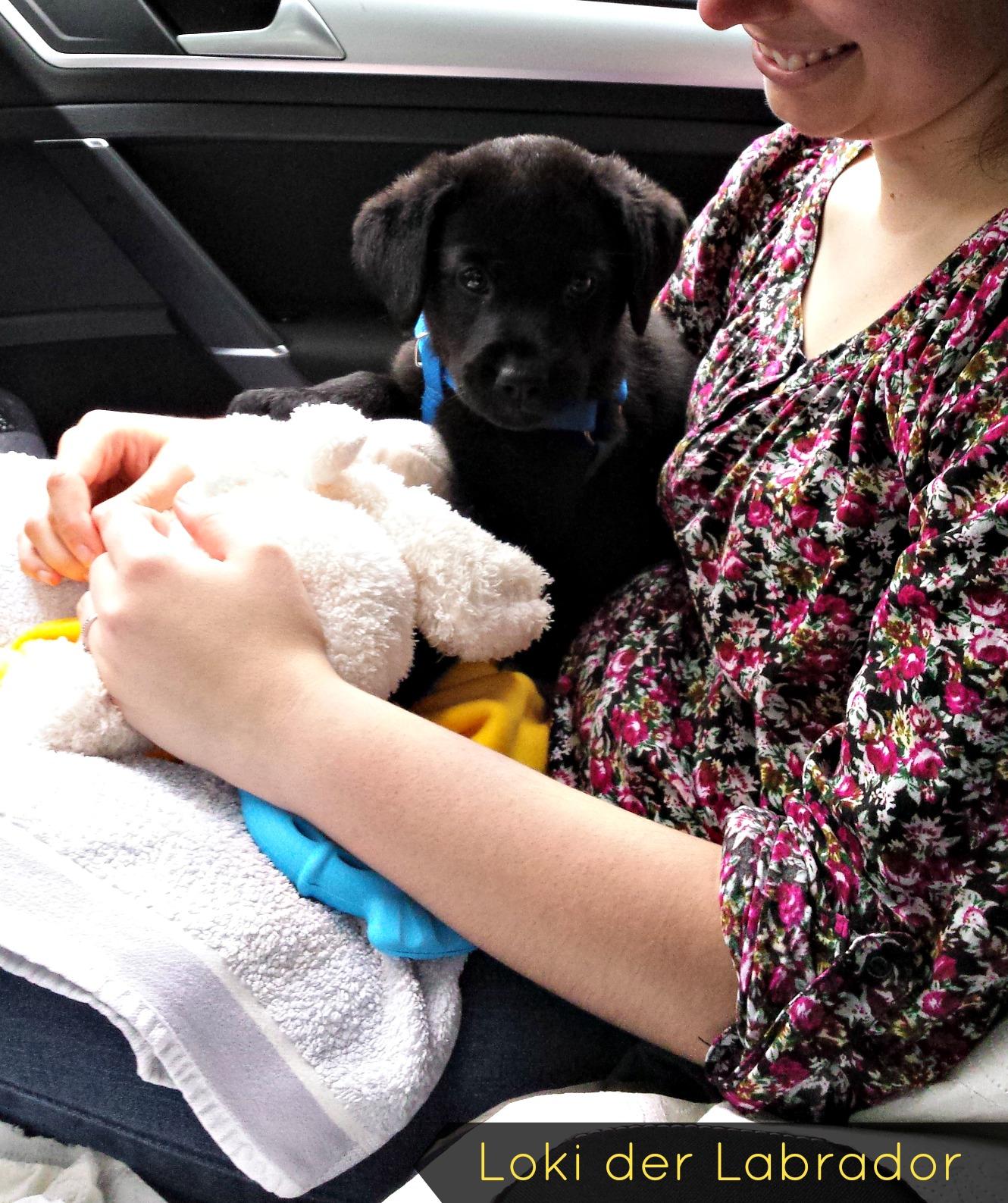 Labrador Welpe Loki Auto