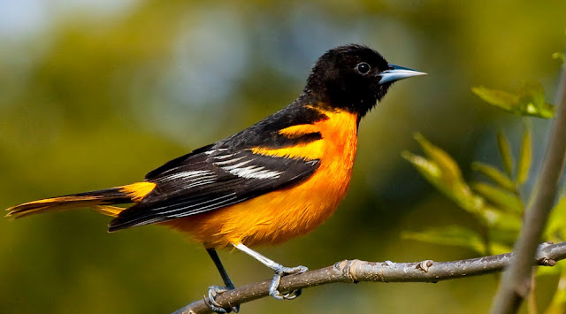 Baltimore Oriole - Facts, information and pictures 5