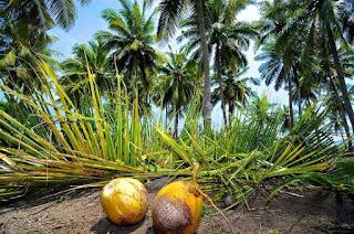 kebun kelapa