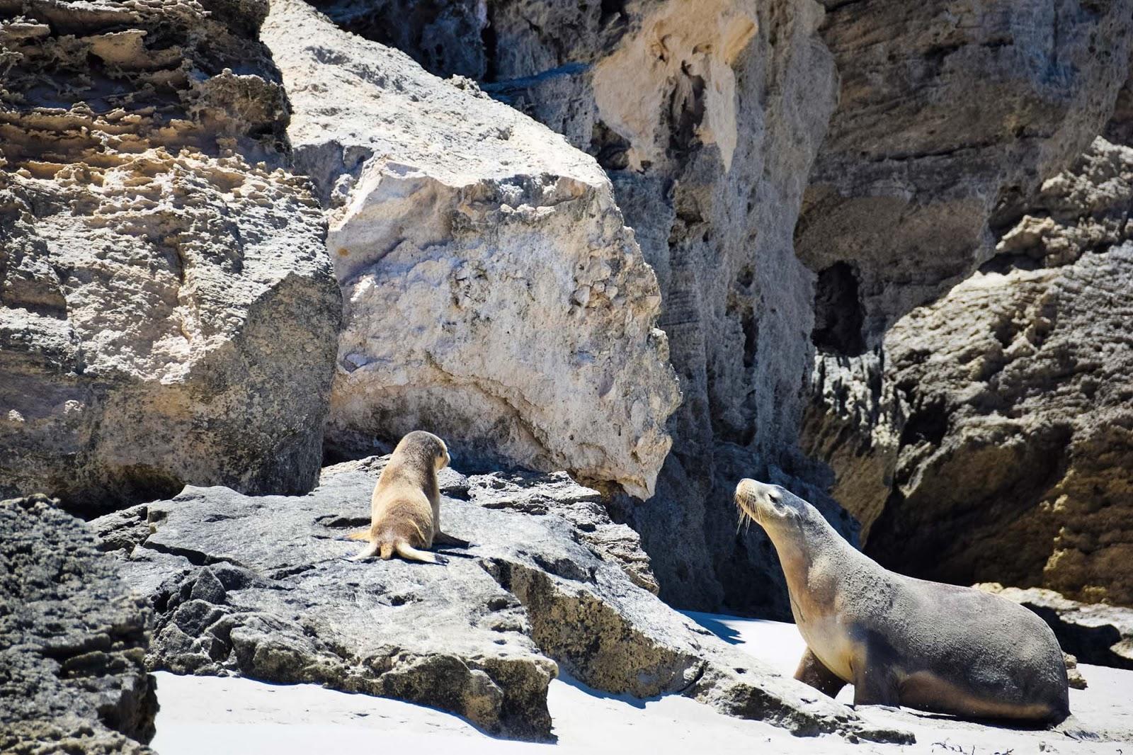 seals at seal bay conservation park