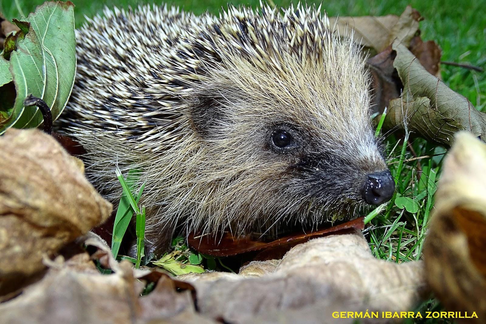Fauna compacta el blog de germ n ibarra zorrilla erizo for Que comen los erizos