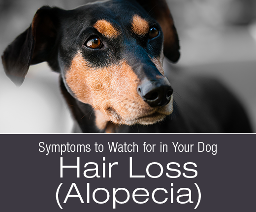 Symptoms to Watch for in Your Dog: Hair Loss (Alopecia)