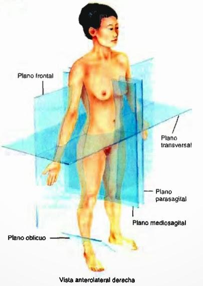Ilustración de los planos anatómicos en el cuerpo de una mujer