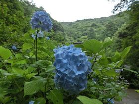 箱根:阿弥陀寺のアジサイ