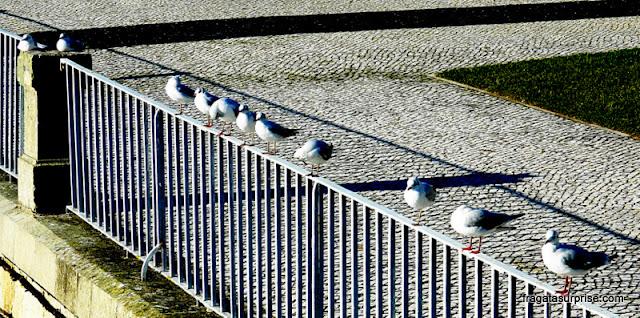 Aves aquáticas às margens do Rio Mondego, em Coimbra