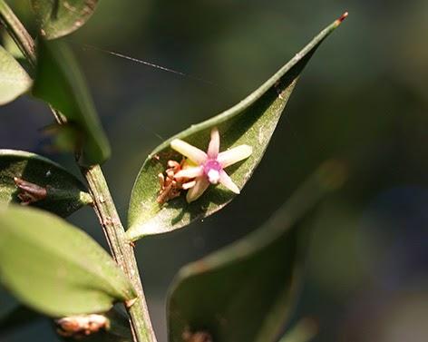 Flor del Rusco (Ruscus aculeatus)