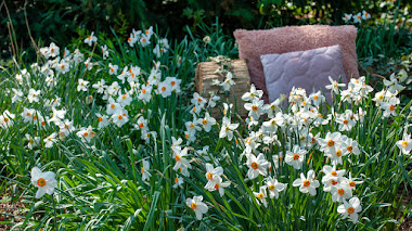 Narcissus poeticus, muy ibérico y perfumado