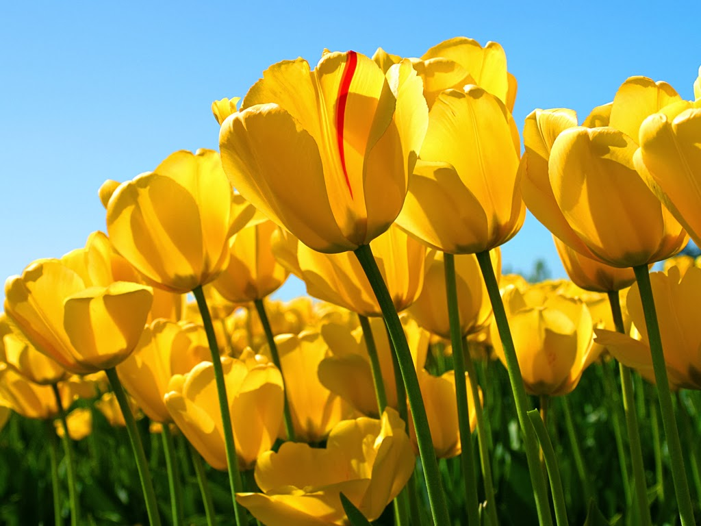 Tulipany przed modyfikacją