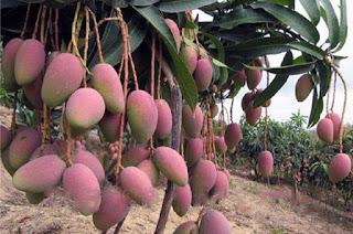cara menanam mangga agar cepat berbuah