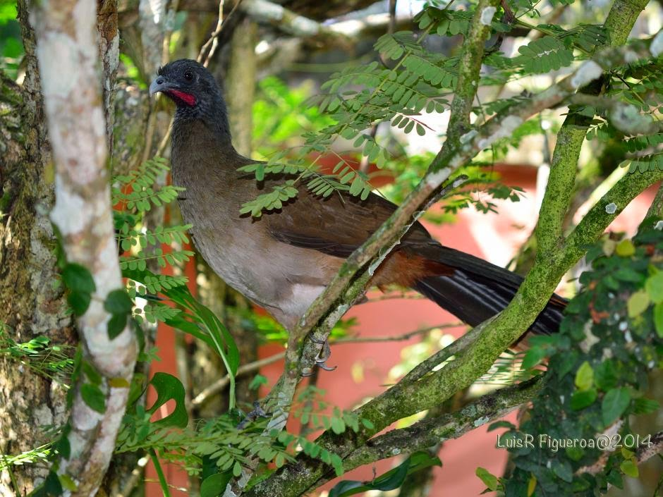 Rufous vented Chachalaca