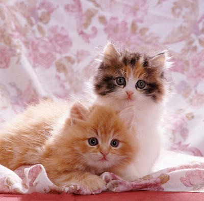 cute-kittens-with-fringed-cover