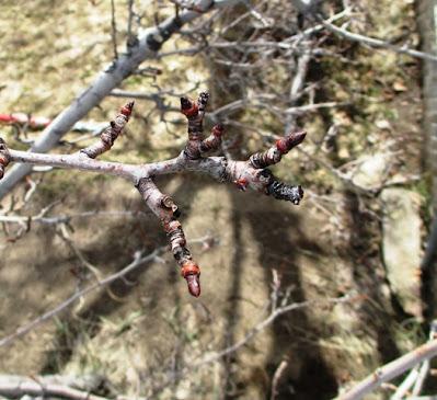 Pear Tree Spur