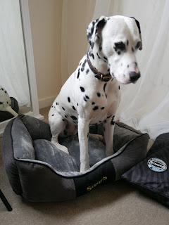 Dalmatian rolling on chester dog bed