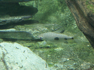 Léporinus à trois tâches - Leporinus friderici - Carpe fleuve - Carpe tamponnée