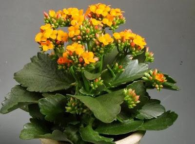 как вырастить каланхоэ,почему не цветет каланхоэ,как поливать каланхоэ
