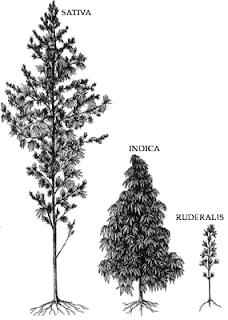 איור של מראה צמחי סאטיבה אינדיקה ורודרליס