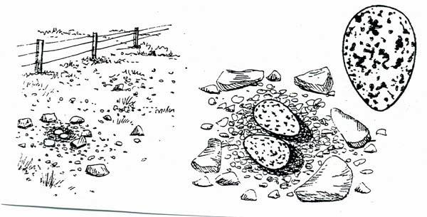 Ostrero austral: Haematopus leucopodus