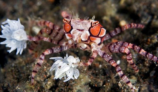 Kepiting Pom Pom - Lybia Tessellata