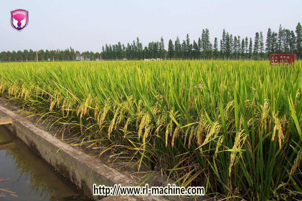 Zhengzhou Raphael Trading Co ,Ltd: Rice Drought Resistance Gene