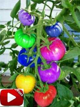 Video Cara Menanam Tomat Rainbow Pelangi Yang Baik dan Benar Dirumah