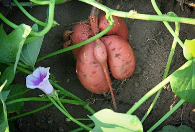 Cómo plantar batatas o boniatos