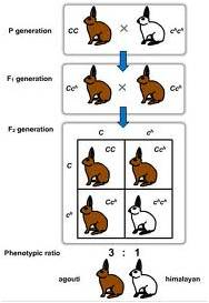 Multiple Alleles | animalgenetics