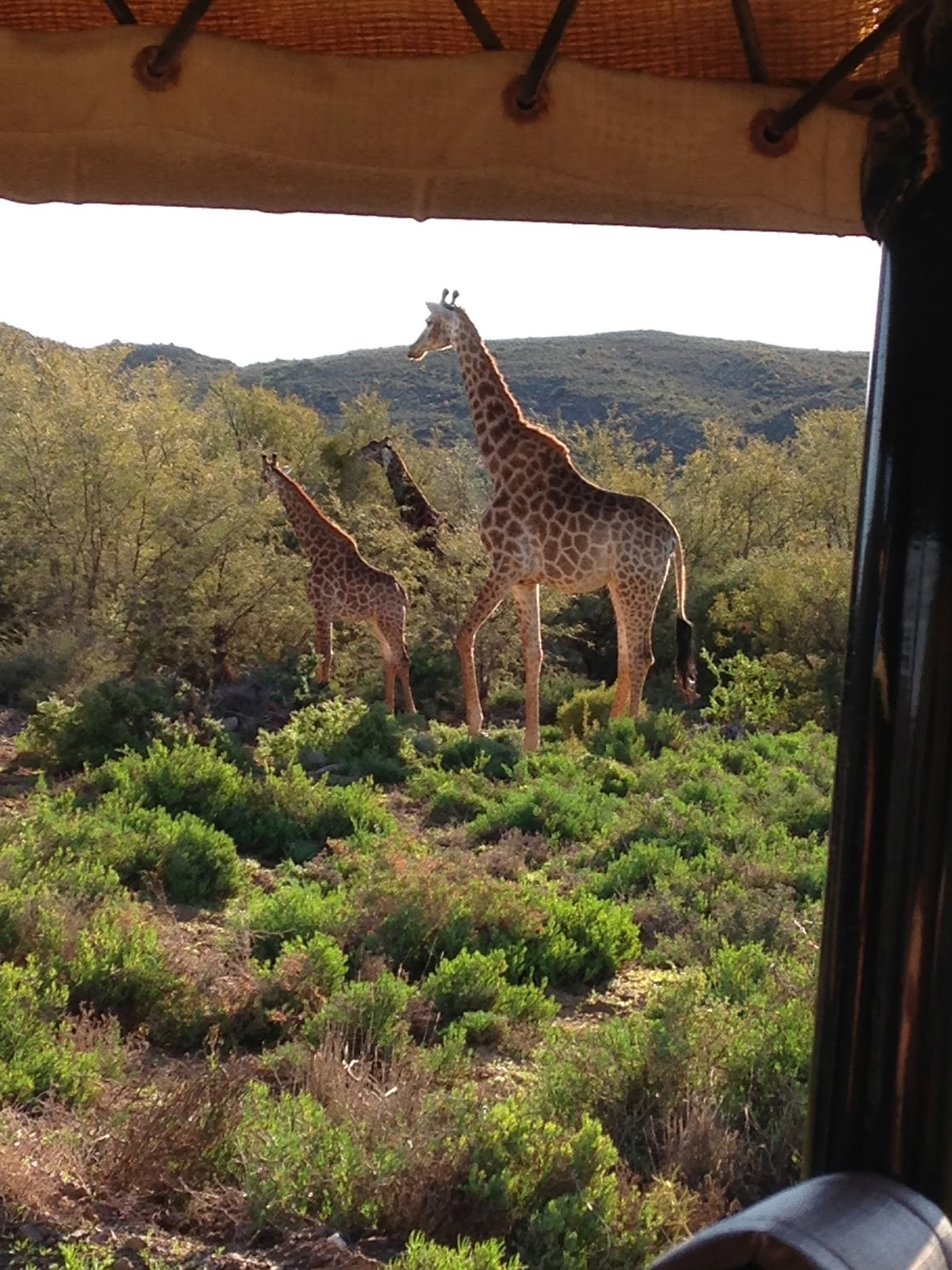 Giraffes, South Africa
