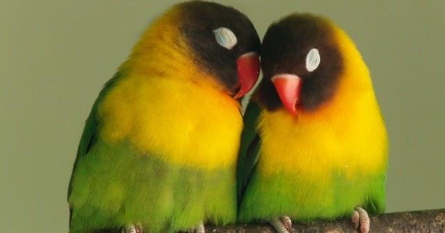 Image Result For Cara Merawat Love Bird Mabung
