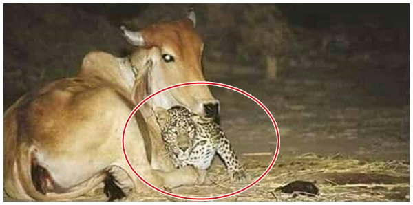 Bahia: Due to the cold jaguar heats next to a cow in western Bahia.