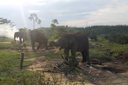 Pusat Pelatihan Gajah Minas Siak dan Sebanga Duri - Sejarah dan Konflik