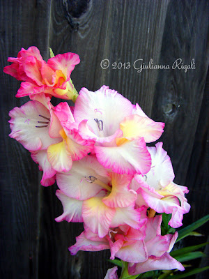 Pink, yellow, and white gladiolus bloom