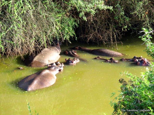 Hippos at Shamwari